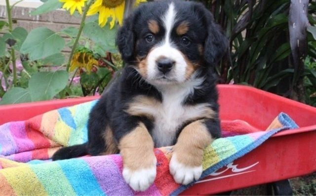 Bernese Mountain Dog Puppies For Sale In Oh