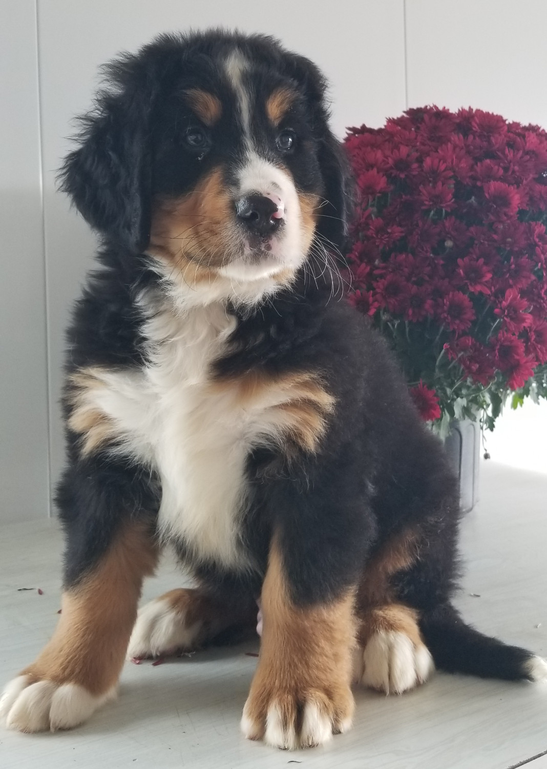 Bernese Mountain Dog Puppies For Sale Loudonville Oh 285268