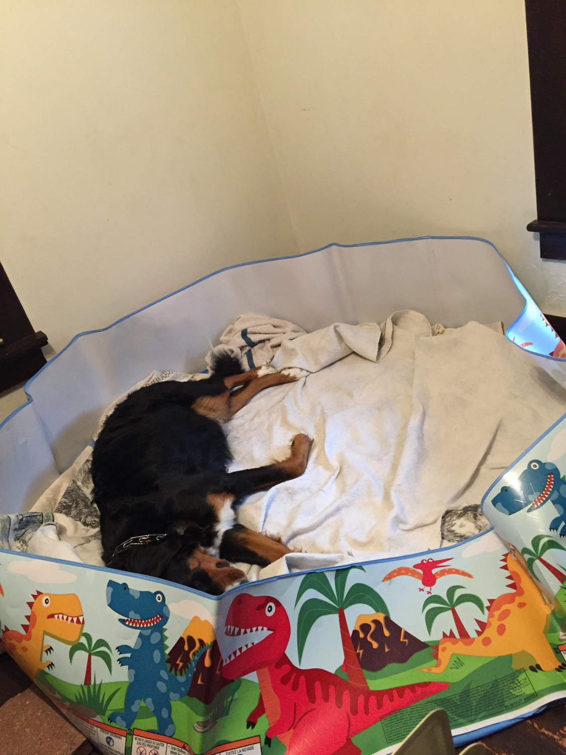 Bernese Mountain Dog For Sale In Illinois 9 Petzlover