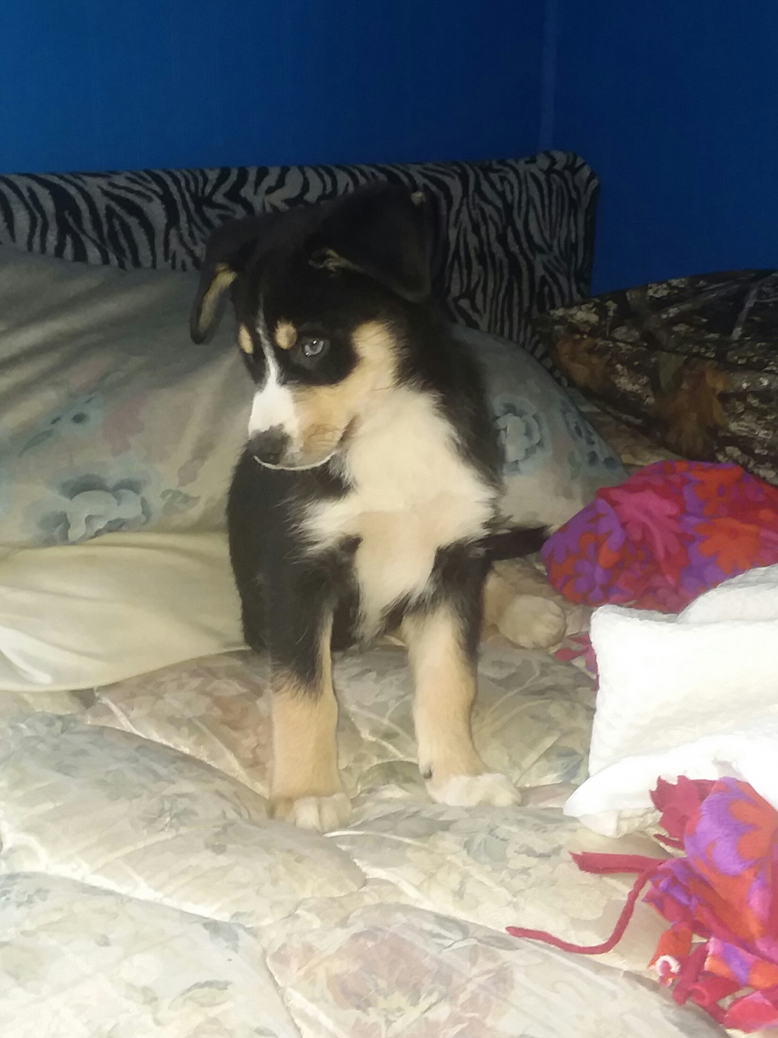 Bernese Mountain Dog Puppies For Sale Orrville Oh 287437