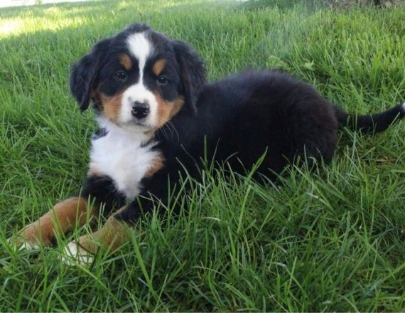 Bernese Mountain Dog Puppies For Sale Charleston Sc 297461