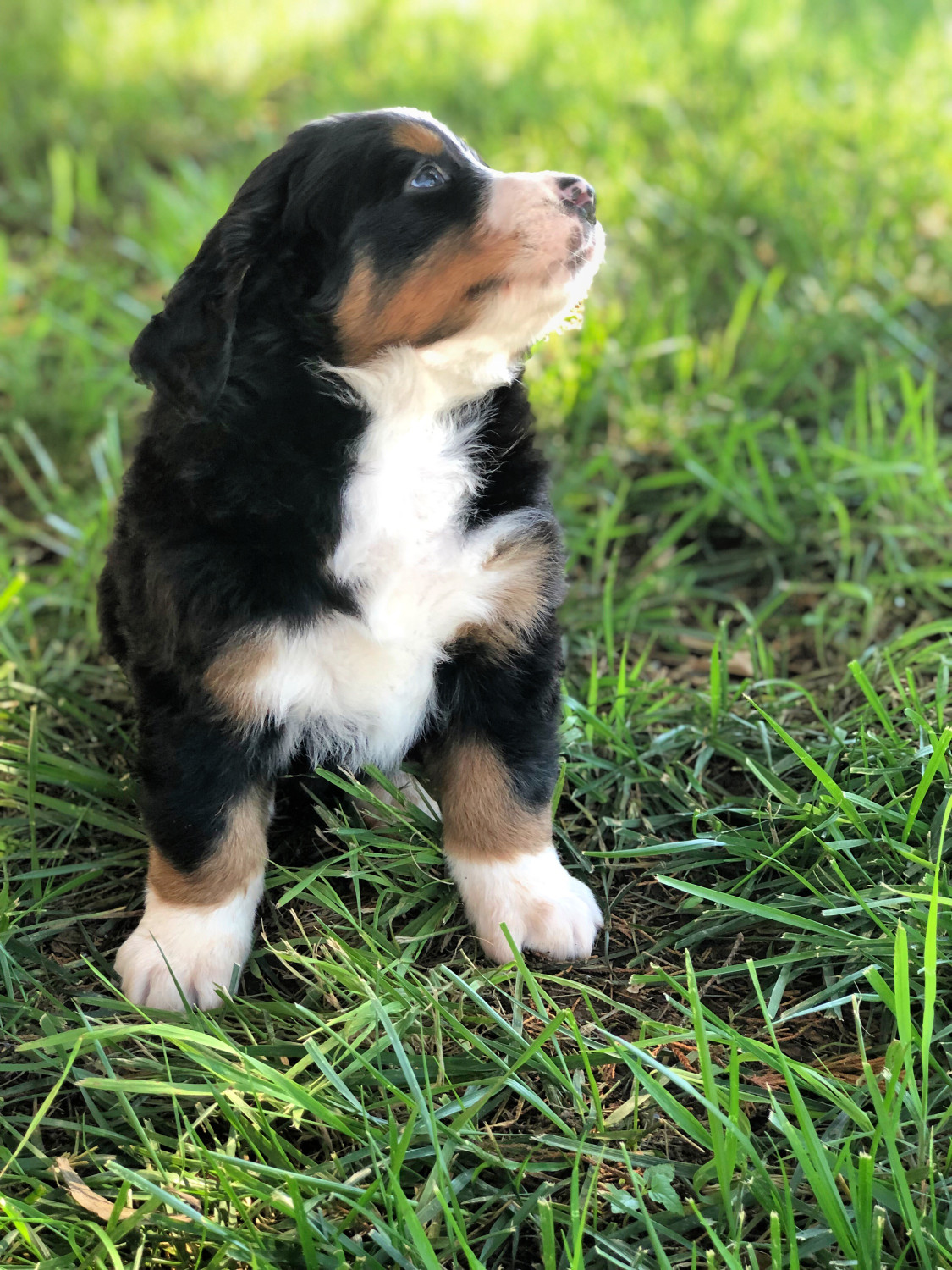 Bernese Mountain Dog Puppies For Sale Norman Ok 300736