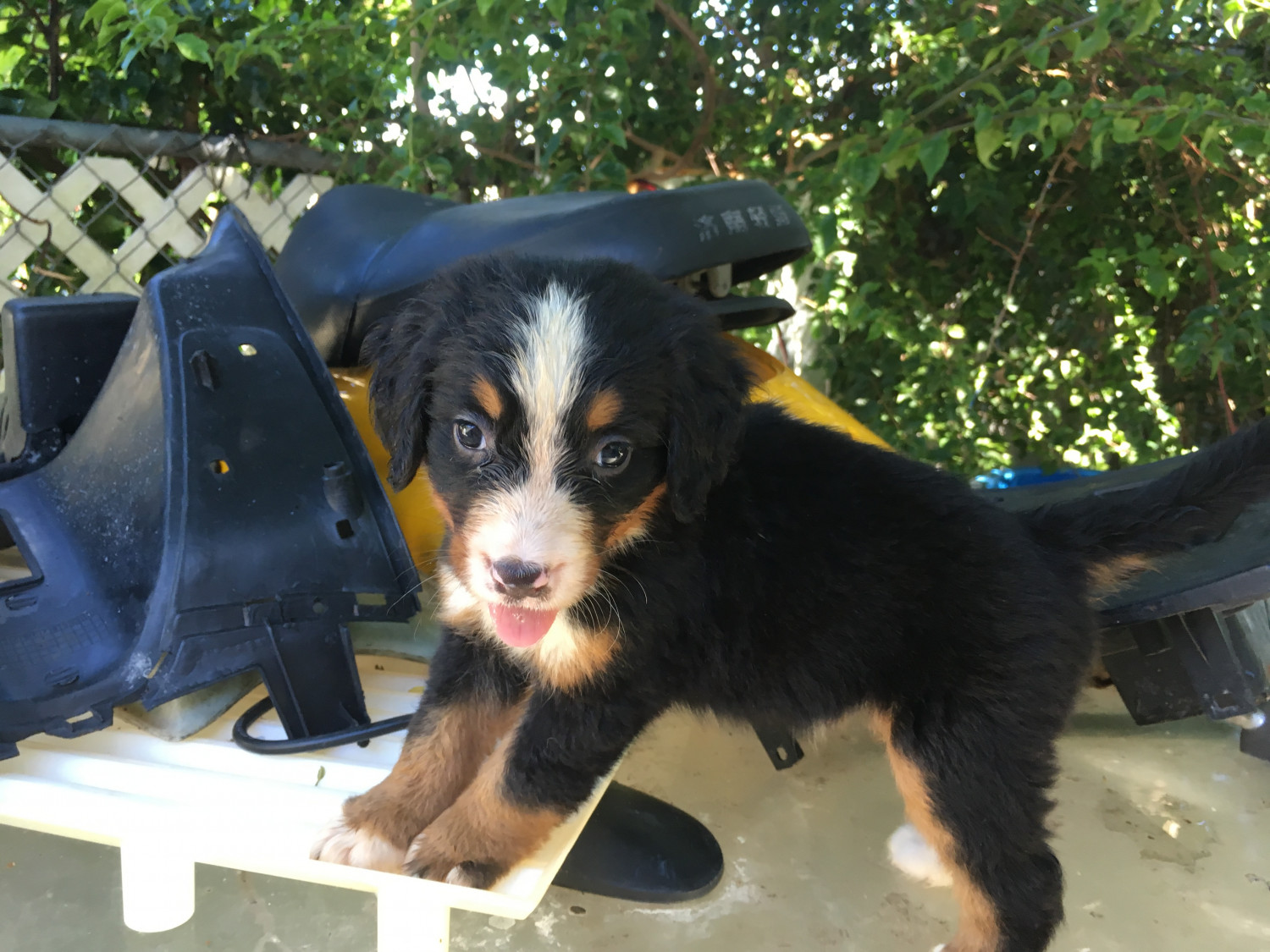 Bernese Mountain Dog Puppies For Sale Miami Fl 301734