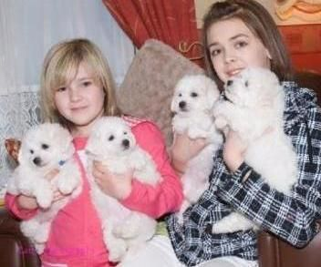 Bichon Frise Puppies For Sale   Raleigh, NC #113686