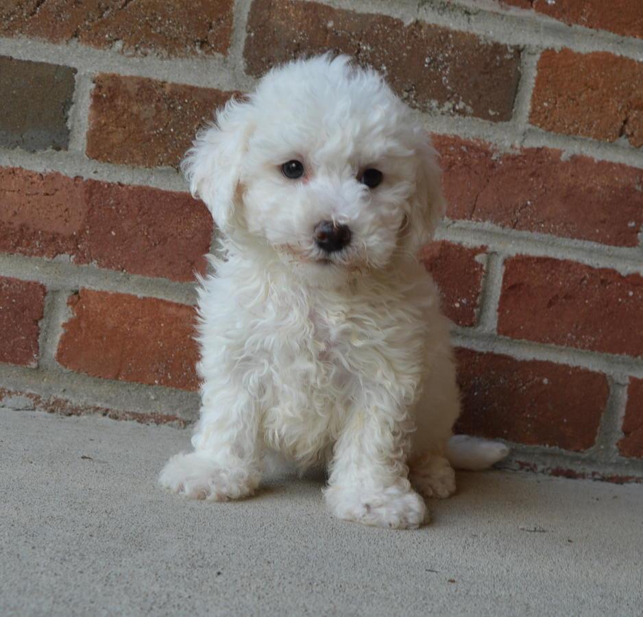 Bichon Frise Puppies For Sale | Alabama Avenue, NJ #234099
