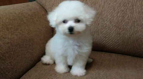 Bichon Frise Puppies For Little
