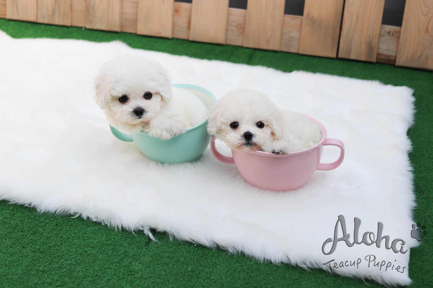 Bichon Frise Puppies For Sale | New York, NY #303161