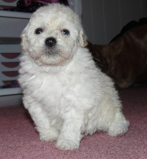 Bichonpoo Puppies For Sale | Houston, TX #127566 | Petzlover
