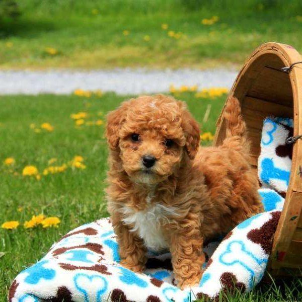 Bichonpoo Puppies For Sale San Mateo Ca 177953