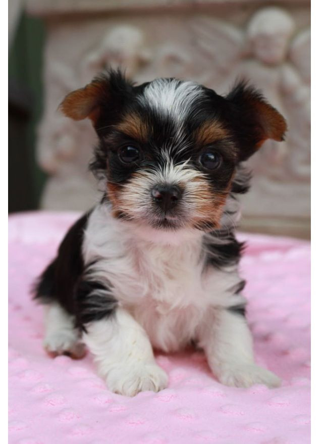 Biewer Puppies For Sale Clifton Nj 238248 Petzlover
