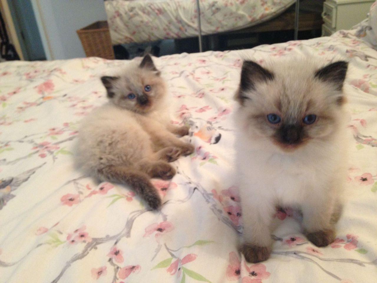 Birman Cats For Sale |...