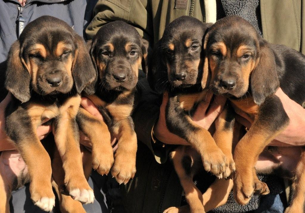 Buy Bloodhound Puppies For Sale In Ohio USA