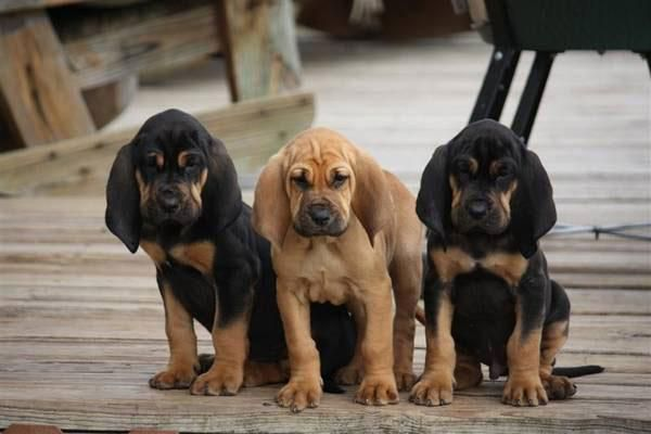 Buy Bloodhound Puppies In Newfoundland And Labrador Canada