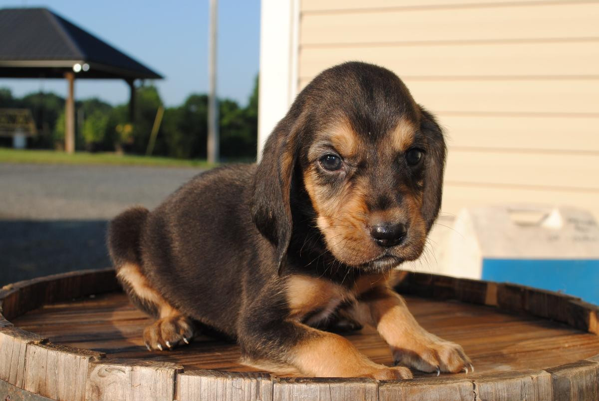 Bloodhound Dogs for Adoption in Indiana USA