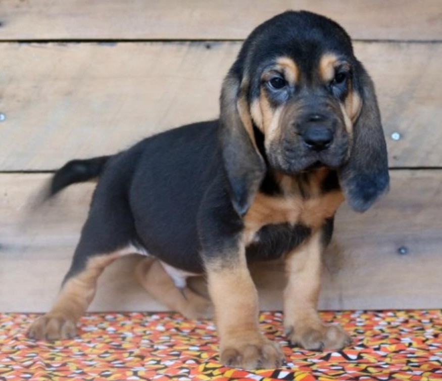 Buy Bloodhound Puppies in Northwest Territories Canada