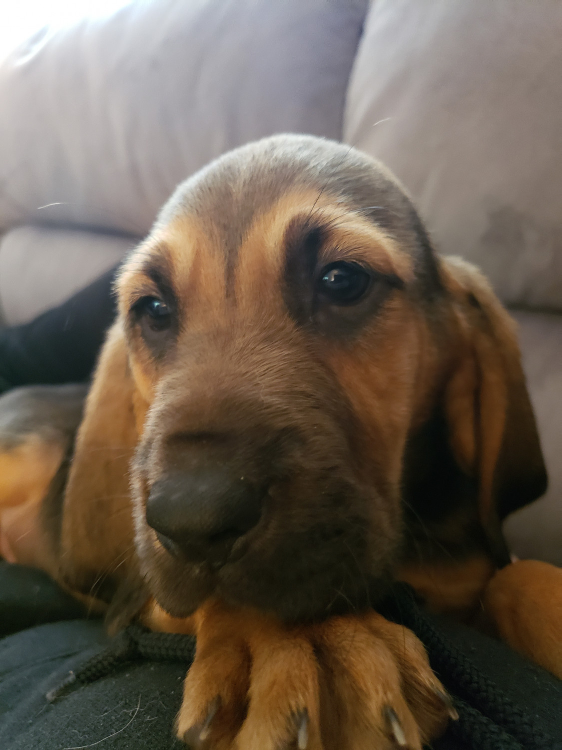 Bloodhound Puppies For Sale | Florida USA #297905