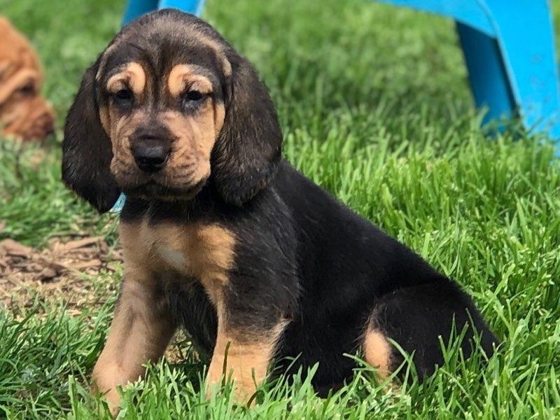 Buy Bloodhound Puppies in Alberta Canada