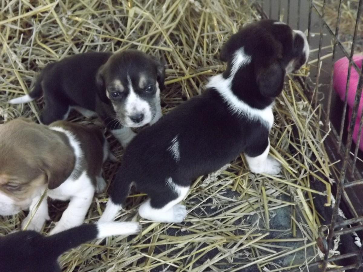 Bluetick Beagle Puppies For Sale Uniontown Pa 104053