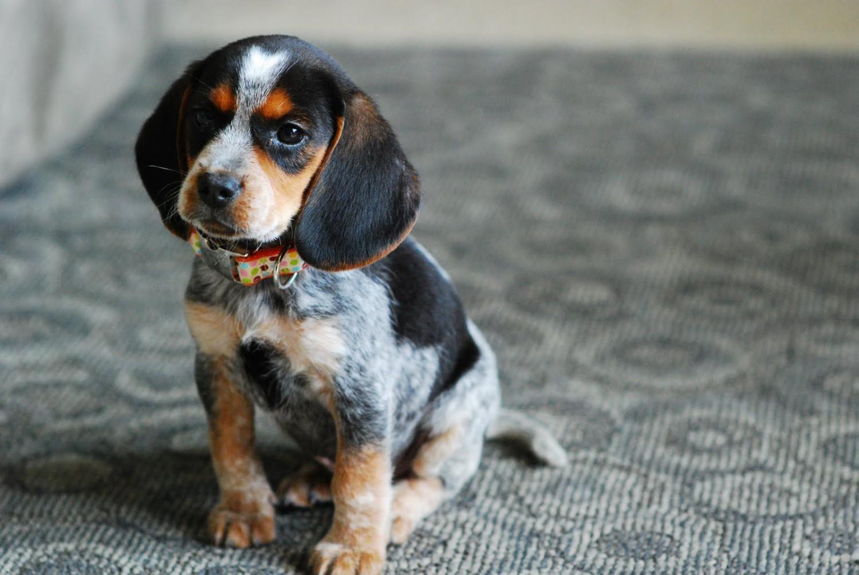 Bluetick Beagle Vs Breed