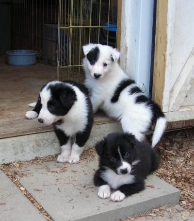 Border Collie Puppies For Sale In Michigan