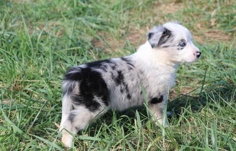 Border collie dogs for sale in texas