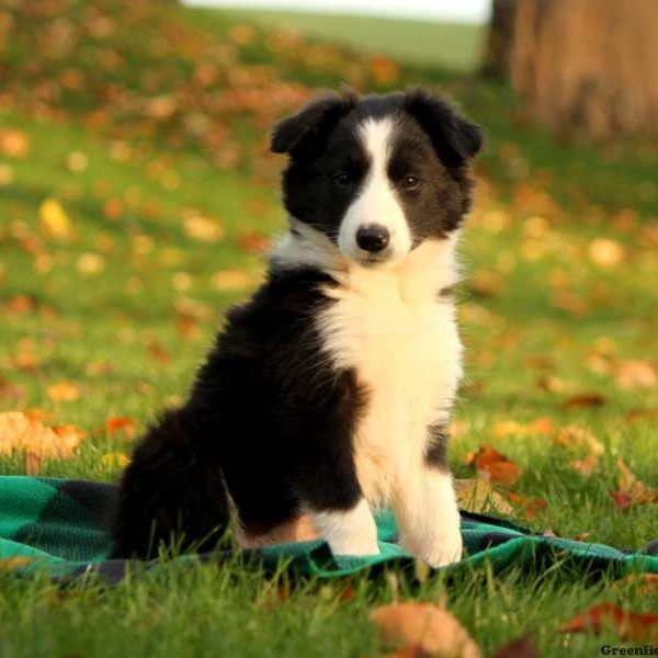 Border Collie Puppies For Sale Black River Falls Wi 248651