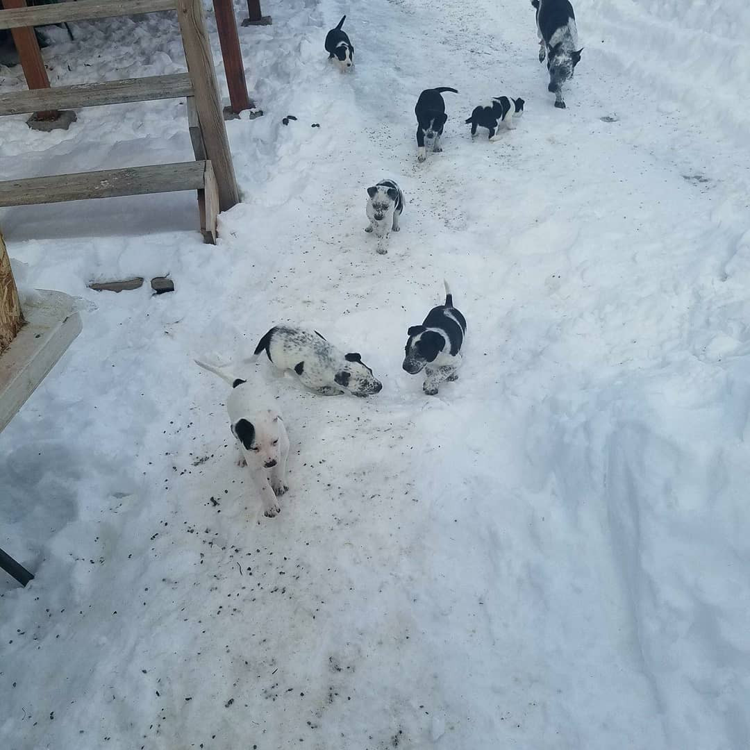 Border Collie Puppies For Sale | Great Falls, MT #273103