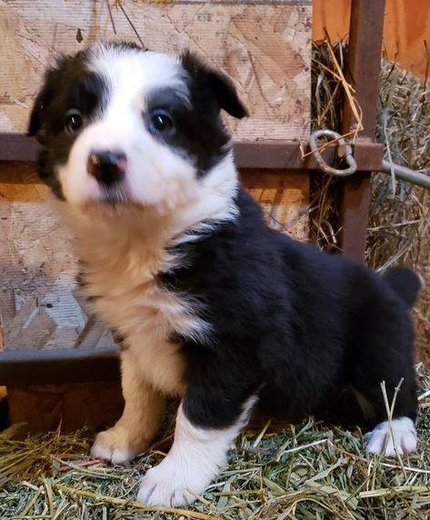 Border Collie Puppies For Sale Greensboro Nc 291662