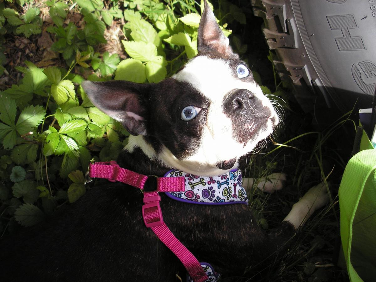 boston terrier breeders in pa boston terrier puppies for sale erie pa 104193 2056