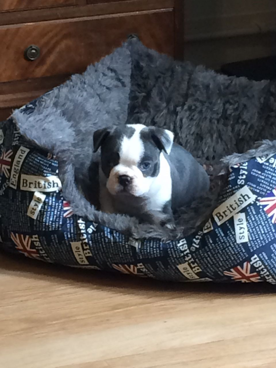boston terrier breeder nj boston terrier puppies for sale jersey city nj 192267 1348