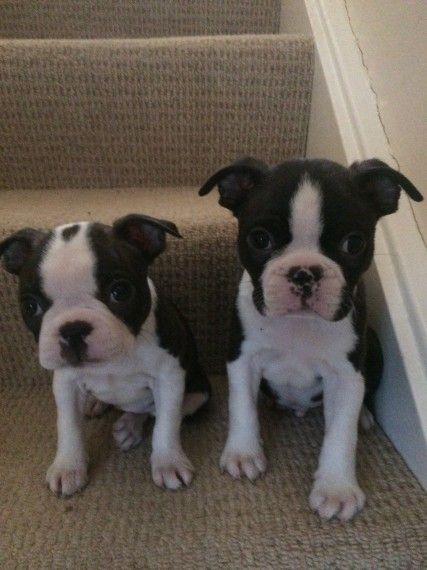 boston terrier breeders wi boston terrier puppies for sale augusta wi 196062 3213