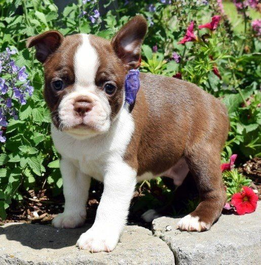 boston terrier texas boston terrier puppies for sale austin tx 202495 1700