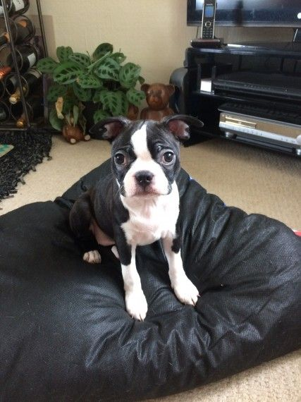 boston terrier breeders wi boston terrier puppies for sale national avenue wi 207258 3400