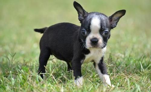 boston terrier puppies for sale oregon boston terrier puppies for sale salem or 210957 6578