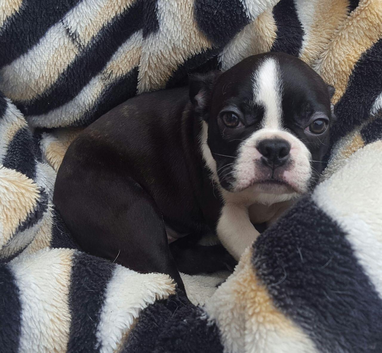 Boston Terrier Puppies For Sale Pennsylvania Avenue Northwest Dc