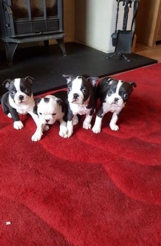 boston terrier breeder nj boston terrier puppies for sale clifton nj 217529 1870