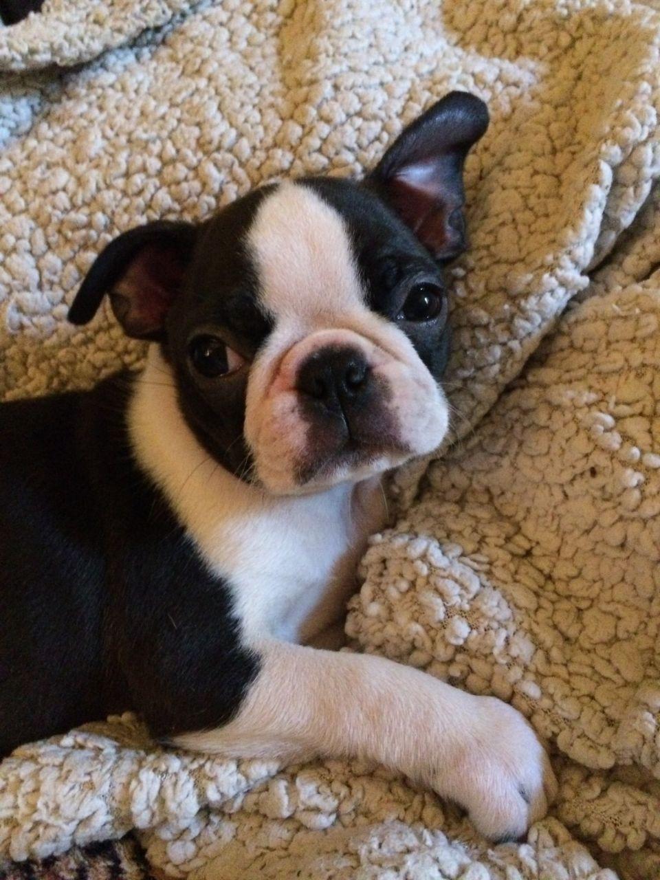 Boston Terrier Puppies For Sale Hackettstown Nj 238397