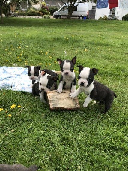 Boston Terrier Puppies For Sale Austin Tx 241056