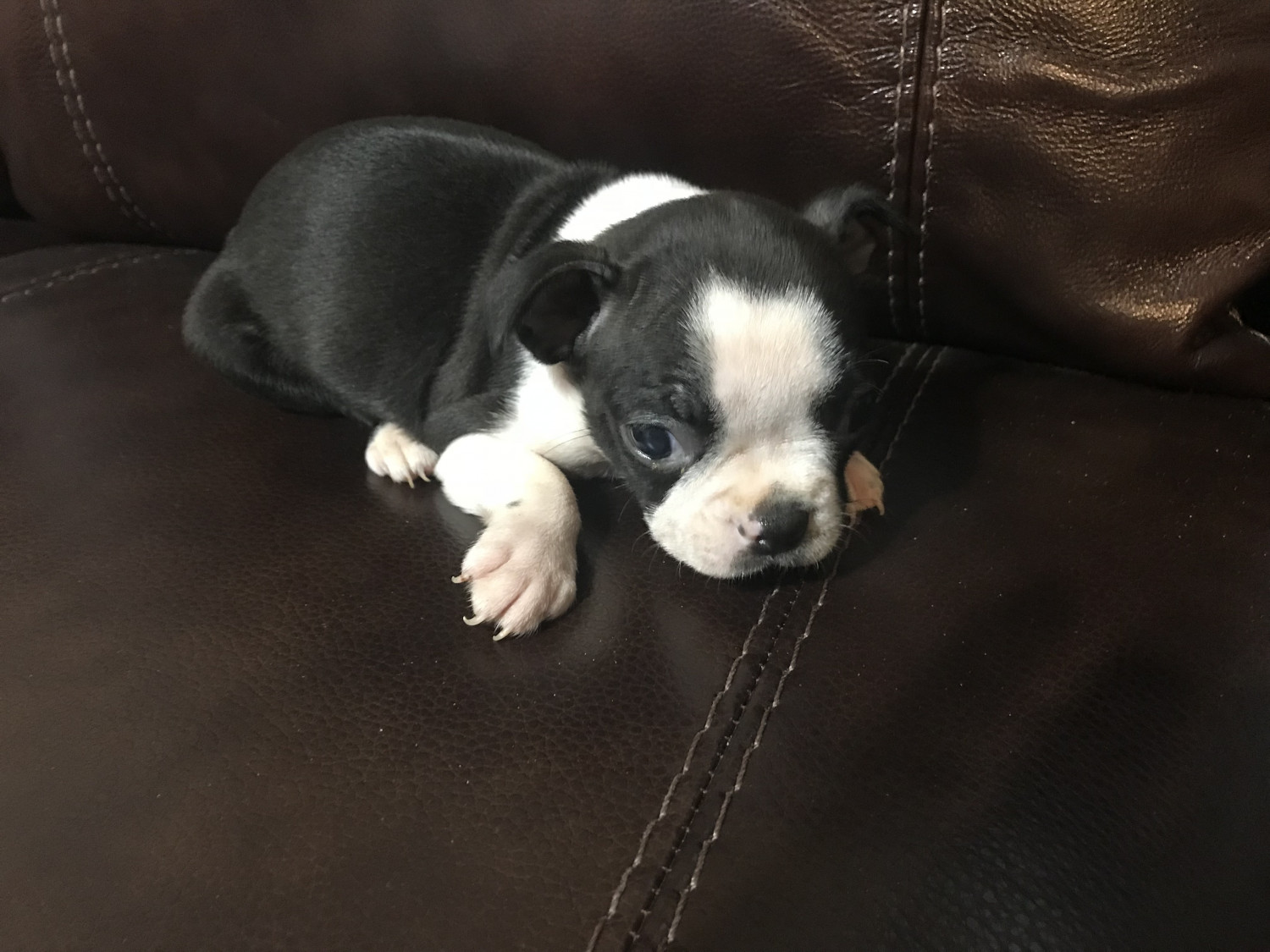 Boston Terrier Puppies For Sale Pink Hill Nc 243477
