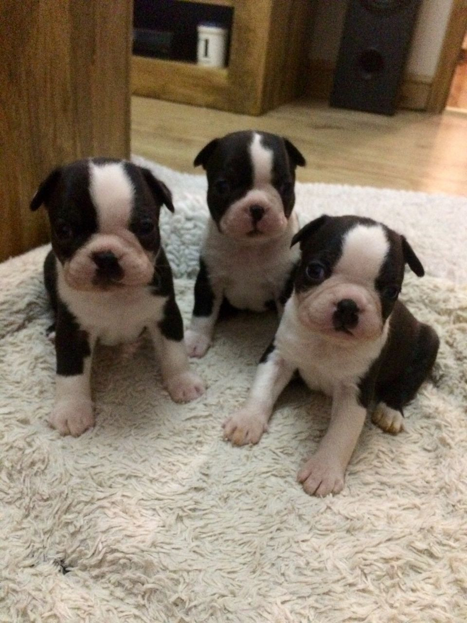 boston terrier breeder nj boston terrier puppies for sale route 38 nj 245438 4177