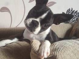 Boston Terrier Puppies For Sale Jersey Shore Nj 245976