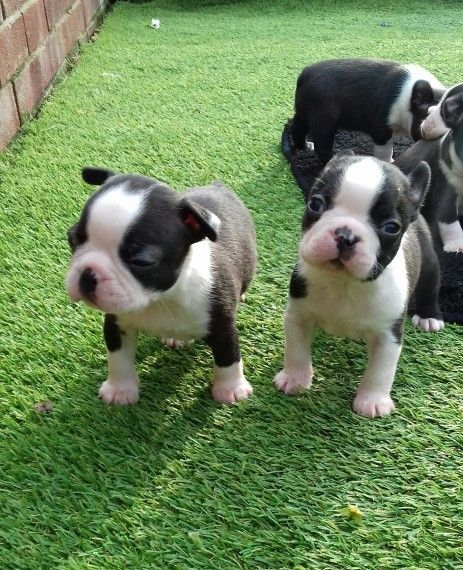 boston terrier breeders in pa boston terrier puppies for sale pittsburgh pa 246356 5245