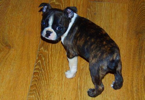 Boston Terrier Puppies For Sale Tulsa Ok 246410