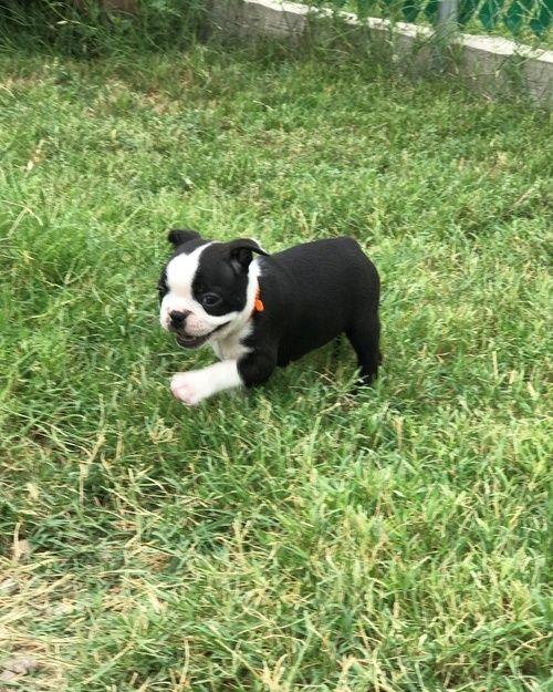 boston terrier breeders wi boston terrier puppies for sale milwaukee wi 246517 8028