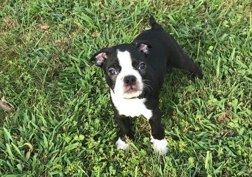boston terrier puppies for sale in Indiana Classifieds ...