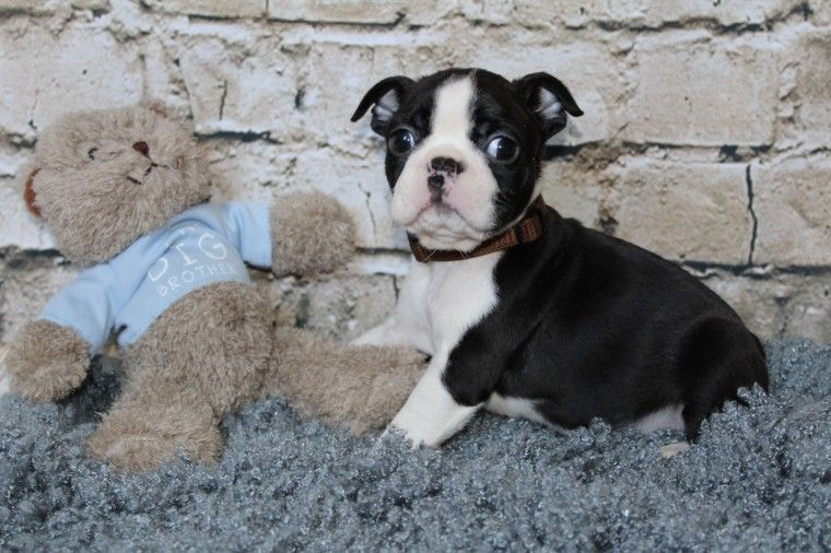 boston terrier breeders in pa boston terrier puppies for sale marianna pa 257448 8914