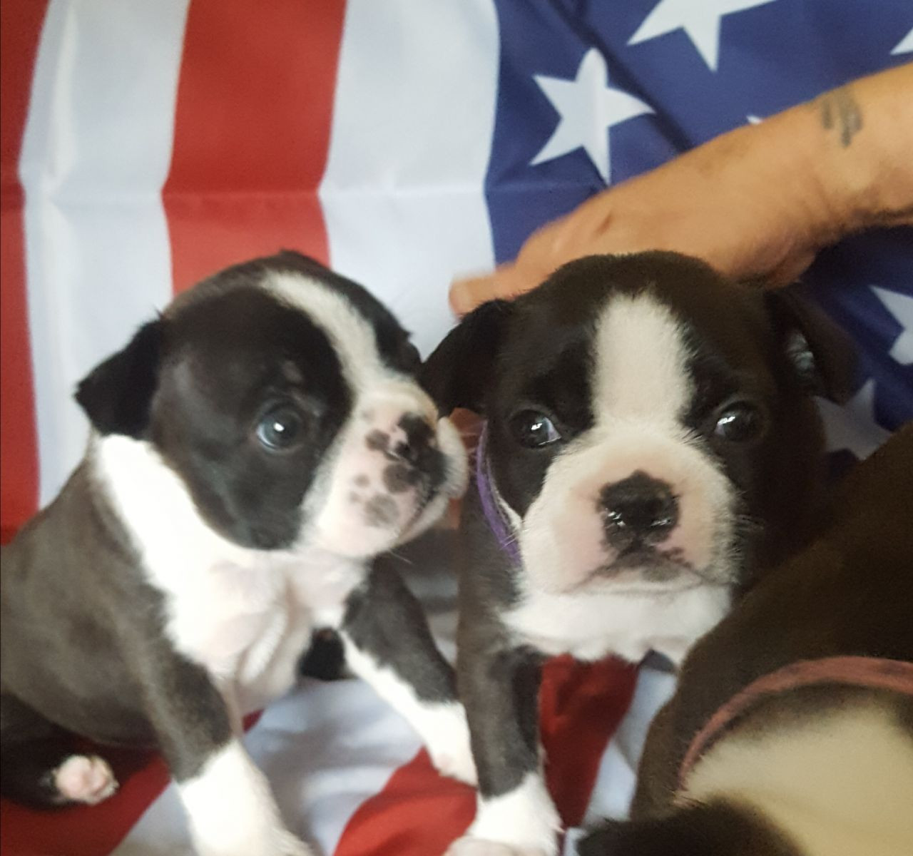 boston terrier texas boston terrier puppies for sale dallas tx 258263 4499