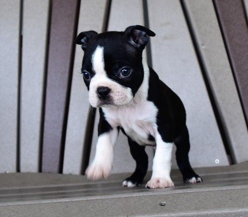 boston terrier texas boston terrier puppies for sale houston tx 259346 3766