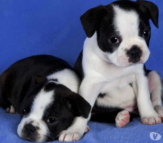 boston terrier puppies virginia boston terrier puppies for sale charleston wv 262225 2489