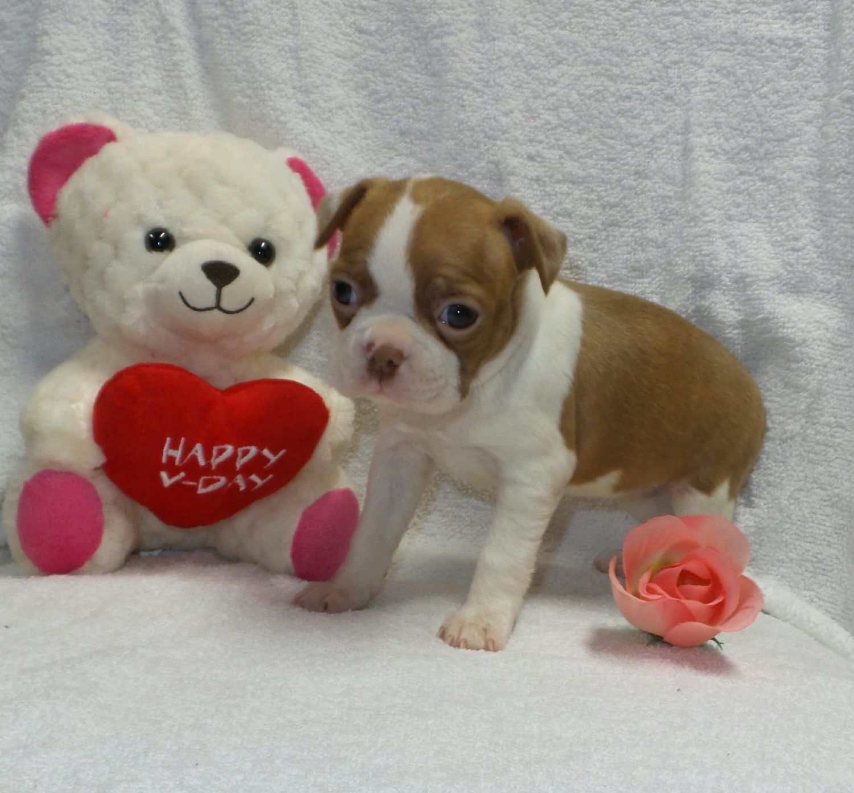 Boston Terrier Puppies For Sale Muskogee Ok 262411